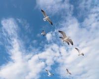 Las gaviotas del grupo están volando en el cielo azul de la nube Fotos de archivo libres de regalías