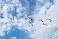 Las gaviotas del grupo están volando en el cielo azul de la nube Fotografía de archivo libre de regalías