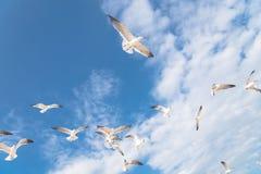Las gaviotas del grupo están volando en el cielo azul de la nube Imágenes de archivo libres de regalías