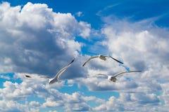 Las gaviotas del vuelo Imagen de archivo libre de regalías