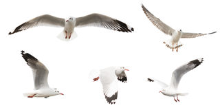 Las gaviotas del vuelo fijaron, aislado en el fondo blanco Fotografía de archivo