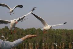 Las gaviotas del vuelo quieren tomar un poco de comida en mi mano Fotos de archivo