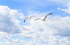 Las gaviotas en el cielo Imágenes de archivo libres de regalías