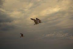 Las gaviotas en un cielo dramático Imágenes de archivo libres de regalías