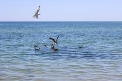 Las gaviotas están intentando coger los pescados Foto de archivo libre de regalías