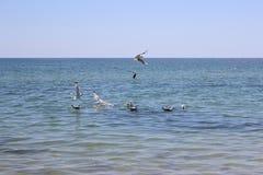 Las gaviotas están intentando coger los pescados Imagen de archivo libre de regalías