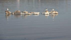 Las gaviotas flotan en una masa de hielo flotante de hielo de fusión, día de abril almacen de video