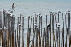 Las gaviotas que llevaban a cabo el borde superior del bambú establecieron abajo en el mar Fotos de archivo