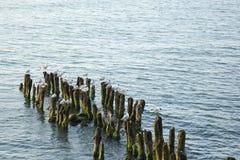Las gaviotas se están sentando en postes de madera en el mar foto de archivo libre de regalías