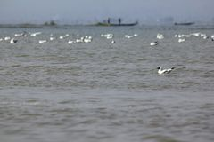 Las gaviotas son pájaros con medio a grande Foto de archivo libre de regalías