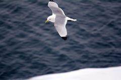 Las gaviotas son una de pocas especies del pájaro que vuelen al Polo Norte Fotos de archivo libres de regalías