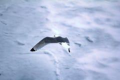 Las gaviotas son una de pocas especies del pájaro que vuelen al Polo Norte Foto de archivo libre de regalías