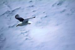 Las gaviotas son una de pocas especies del pájaro que vuelen al Polo Norte Imagenes de archivo
