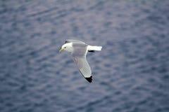 Las gaviotas son una de pocas especies del pájaro que vuelen al Polo Norte Imagen de archivo