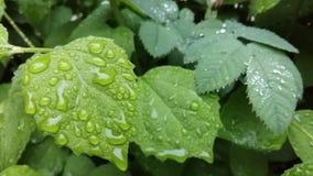 Las gotas de agua claras forman modelos delicados en una hoja suavemente de ocsilación metrajes