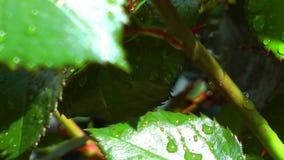 Las gotas de agua del agua en verde salen de la planta en naturaleza almacen de video