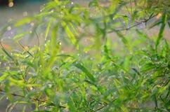Las gotas de lluvia en las hojas del bambú y el fondo ligero del sol Foto de archivo