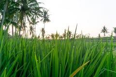 Las gotitas de agua en arroz colocan en Bali, Indonesia Foto de archivo libre de regalías