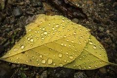 Las gotitas de agua encendido apoyan de las hojas del abedul amarillo, Maine septentrional Foto de archivo