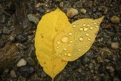 Las gotitas de agua encendido apoyan de las hojas del abedul amarillo, Maine septentrional Fotografía de archivo