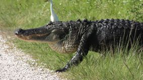 Las grúas de Sandhill asustaron cruzando el cocodrilo en humedales almacen de metraje de vídeo