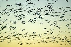 Las grúas de Sandhill vuelan sobre la reserva de Bosque del Apache National en la salida del sol, cerca de San Antonio y de Socor Imagen de archivo