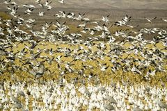 Las grúas de Sandhill y los gansos de nieve vuelan sobre campo de maíz en la reserva de Bosque del Apache National, cerca de San  Fotos de archivo