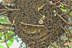 Las grandes abejas del Wildflower, Zimbabwe Fotografía de archivo libre de regalías