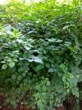 Las grandes hojas verdes ajardinan en el parque fotografía de archivo