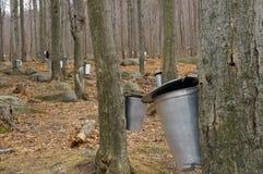 Las granjas del jarabe de arce con los cubos de la savia Imagenes de archivo