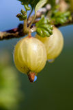 Las grosellas espinosas se cierran para arriba en arbusto Imagen de archivo