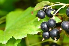 Las grosellas negras en el arbusto ramifican en el jardín fotografía de archivo