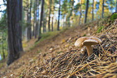 las grzybek Obrazy Stock