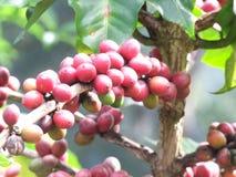 Las habas rojas las semillas maduras esperan la cosecha Imagen de archivo