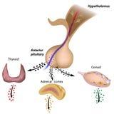 Las hachas pituitarias hipotalámicas Foto de archivo libre de regalías