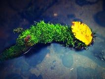 Las hayas anaranjadas y amarillas se van en la rama, agua clara que corre el árbol caido abajo Fotografía de archivo