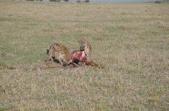 Las hienas en la consumición Wildabeast de Kenia después de leones se acaban Imagen de archivo libre de regalías