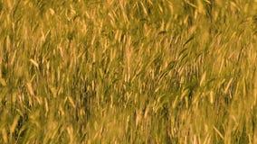 Las hierbas de oro se mueven rápidamente en el viento almacen de video