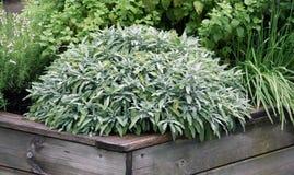 Las hierbas plantan en la cama aumentada del jardín Fotos de archivo