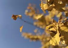 Las hojas amarillas del biloba del Ginkgo debajo del cielo azul imagen de archivo