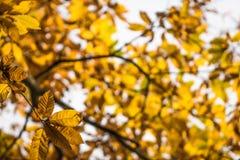 Las hojas amarillo-naranja del otoño de la caída del árbol de castaña modelan adorno Imagenes de archivo