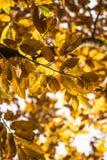 Las hojas amarillo-naranja del otoño de la caída del árbol de castaña modelan adorno Foto de archivo