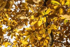 Las hojas amarillo-naranja del otoño de la caída del árbol de castaña modelan adorno Fotos de archivo libres de regalías