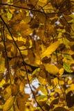 Las hojas amarillo-naranja del otoño de la caída del árbol de castaña modelan adorno Fotografía de archivo