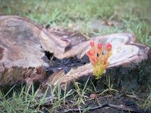 Las hojas anaranjadas germinan de tocones Imagenes de archivo