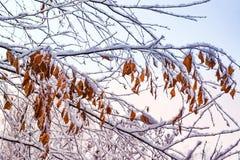 Las hojas anaranjadas secas del abedul en las ramas se cierran para arriba, cubierto con helada y nieve, Fotografía de archivo libre de regalías