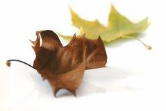 Las hojas caidas aislaron blanco Imagen de archivo