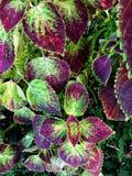 Las hojas coloridas de la visión superior Painted ofenden el fondo de Blumei del coleo y texturizada en el jardín ornamental en T imagenes de archivo