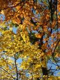 las hojas coloridas de los árboles del otoño amarillean follaje verde rojo del cielo de la belleza Foto de archivo