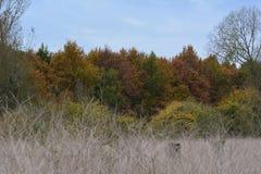 Las hojas consiguen diverso color y caer abajo en el Oostvaardersplassen en los Países Bajos Fotografía de archivo libre de regalías